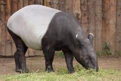 ασιατικό tapir Στοκ φωτογραφίες με δικαίωμα ελεύθερης χρήσης