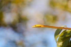 Ασιατικό whipsnake Στοκ εικόνες με δικαίωμα ελεύθερης χρήσης