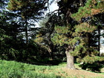 δασικά δέντρα πεύκων Στοκ Φωτογραφία