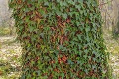 δασικά δέντρα Virgin κισσών Στοκ Εικόνες
