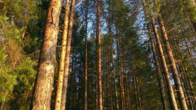 δασικά ψηλά δέντρα απόθεμα βίντεο