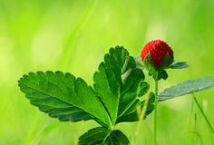 δασικές μακρο βλασταημένες άγρια περιοχές φραουλών πρώτου πλάνου εστίασης Στοκ φωτογραφίες με δικαίωμα ελεύθερης χρήσης
