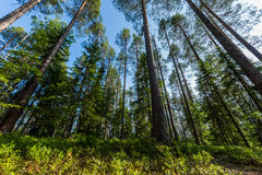 Δασική σκηνή στη Φινλανδία Στοκ Εικόνες
