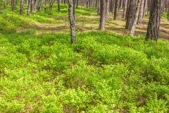 Δασικοί πράσινοι θάμνοι μυρτίλλων Στοκ εικόνες με δικαίωμα ελεύθερης χρήσης