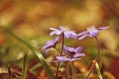 δασικό λευκό άνοιξη λουλουδιών Όμορφα ανθίζοντας πρώτα μικρά λουλούδια στο δασικό Hepatica οξιών άνοιξη της Πολωνίας nobilis hepa Στοκ Εικόνες