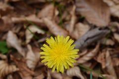δασικό λευκό άνοιξη λουλουδιών Στοκ φωτογραφία με δικαίωμα ελεύθερης χρήσης