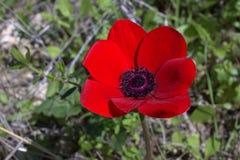 δασικό λευκό άνοιξη λουλουδιών Anemone Στοκ Φωτογραφίες