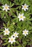 δασικό λευκό λουλουδιών Στοκ φωτογραφία με δικαίωμα ελεύθερης χρήσης