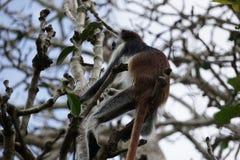 δασικό κόκκινο πιθήκων jozani colobus στοκ εικόνες με δικαίωμα ελεύθερης χρήσης