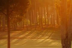 δασικό πράσινο πεύκο Στοκ Φωτογραφίες