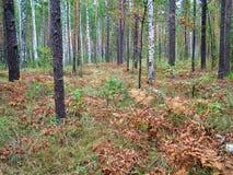 δασικό χρυσό ρωσικό φως του ήλιου σημύδων φθινοπώρου Στοκ Εικόνα