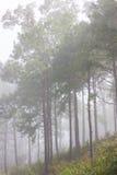 δασικό misty πεύκο Στοκ φωτογραφία με δικαίωμα ελεύθερης χρήσης