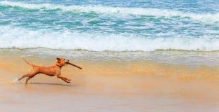 Ασκήσεις σκυλιών με ένα ραβδί Στοκ Εικόνα