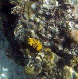 Ασπόνδυλος στενός επάνω Nudibranch στοκ εικόνα
