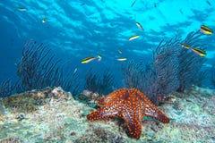 Αστέρια θάλασσας σε ένα ζωηρόχρωμο υποβρύχιο τοπίο σκοπέλων Στοκ Εικόνα