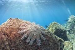 Αστέρια θάλασσας σε ένα ζωηρόχρωμο υποβρύχιο τοπίο σκοπέλων Στοκ εικόνες με δικαίωμα ελεύθερης χρήσης