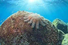Αστέρια θάλασσας σε ένα ζωηρόχρωμο υποβρύχιο τοπίο σκοπέλων Στοκ Εικόνες