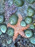 Αστέρια και θάλασσα Anemone θάλασσας στη λίμνη παλίρροιας Pacific Coast Στοκ Φωτογραφίες