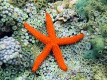 Αστέρι θάλασσας κομητών πέρα από τα anemones Στοκ φωτογραφίες με δικαίωμα ελεύθερης χρήσης