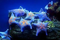 αστέρι θάλασσας Στοκ φωτογραφίες με δικαίωμα ελεύθερης χρήσης