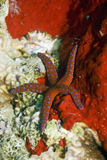 αστέρι θάλασσας ghardaqa Στοκ Εικόνες