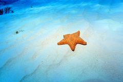 Αστέρι θάλασσας μαξιλαριών Στοκ Φωτογραφίες