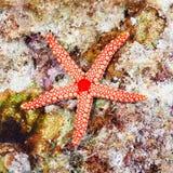 Αστέρι θάλασσας μαργαριταριών Στοκ εικόνα με δικαίωμα ελεύθερης χρήσης
