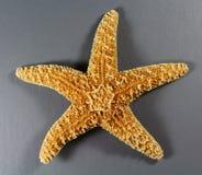 Αστέρι θάλασσας του Forbes Στοκ φωτογραφία με δικαίωμα ελεύθερης χρήσης