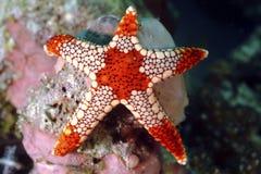 Αστέρι θάλασσας Noduled, νησί Mabul, Sabah Στοκ εικόνα με δικαίωμα ελεύθερης χρήσης