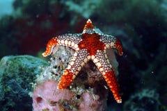 Αστέρι θάλασσας Noduled, νησί Mabul, Sabah Στοκ Εικόνες