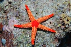 Αστέρι θάλασσας Noduled Στοκ εικόνες με δικαίωμα ελεύθερης χρήσης