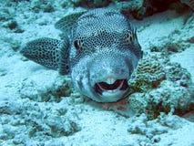 αστέρι της Αιγύπτου pufferfish Στοκ φωτογραφία με δικαίωμα ελεύθερης χρήσης