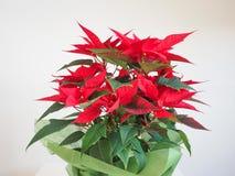 Αστέρι Χριστουγέννων Poinsettia Στοκ φωτογραφία με δικαίωμα ελεύθερης χρήσης