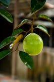 Αστέρι Apple Mekong του δέλτα Βιετνάμ Στοκ Φωτογραφία