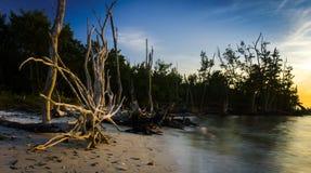 Αστέρι Driftwood στην παραλία γουρουνιών Στοκ Φωτογραφίες