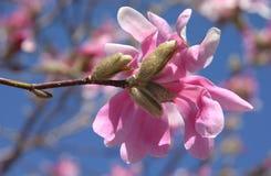 Αστέρι Magnolia (Magnolia Stellata) την άνοιξη - Πενσυλβανία Στοκ φωτογραφία με δικαίωμα ελεύθερης χρήσης