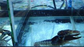 Αστακοί στη δεξαμενή ψαριών απόθεμα βίντεο