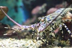 Αστακός θάλασσας Andaman στοκ φωτογραφία