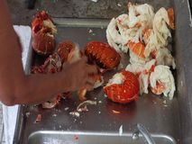 Αστακός καθαρισμού στις Καραϊβικές Θάλασσες απόθεμα βίντεο