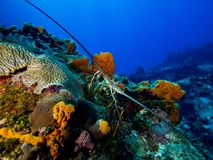 Αστακός στο κοράλλι με το μπλε υπόβαθρο νερού στοκ εικόνες