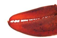 αστακός στοκ φωτογραφία με δικαίωμα ελεύθερης χρήσης