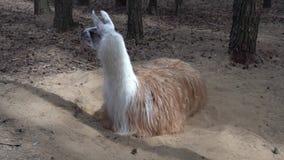Αστεία άσπρη κινηματογράφηση σε πρώτο πλάνο λάμα στο ζωολογικό κήπο φιλμ μικρού μήκους
