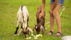 Αστεία αίγα στο αγρόκτημα αιγών αγροτουρισμός, ζώα αγροκτημάτων Οικογένειες που επισκέπτονται το κοινοτικό αγρόκτημα, κορίτσι που φιλμ μικρού μήκους