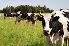 Αστεία αγελάδα σε ένα πράσινο λιβάδι Στοκ Εικόνες