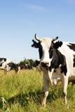 Αστεία αγελάδα σε ένα πράσινο λιβάδι Στοκ εικόνα με δικαίωμα ελεύθερης χρήσης