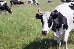 Αστεία αγελάδα σε ένα πράσινο λιβάδι Στοκ φωτογραφία με δικαίωμα ελεύθερης χρήσης