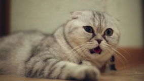 Αστεία γάτα με τη γλώσσα του που κρεμά έξω απόθεμα βίντεο