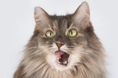 Αστεία γάτα ομιλίας κοντά που απομονώνεται επάνω στο λευκό Στοκ Εικόνες
