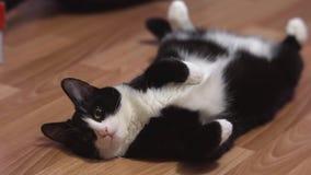 Αστεία γάτα που στηρίζεται μετά από το παιχνίδι απόθεμα βίντεο