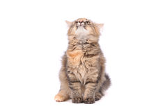 Αστεία γάτα που φαίνεται ανοδική Στοκ Φωτογραφία